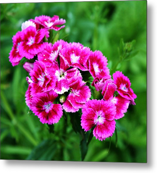 Pink Dianthus Metal Print by Cathie Tyler