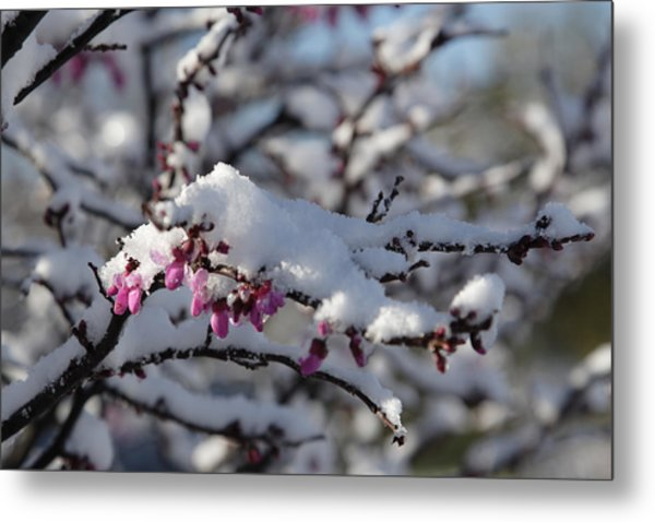Pink Flower With Snow Metal Print