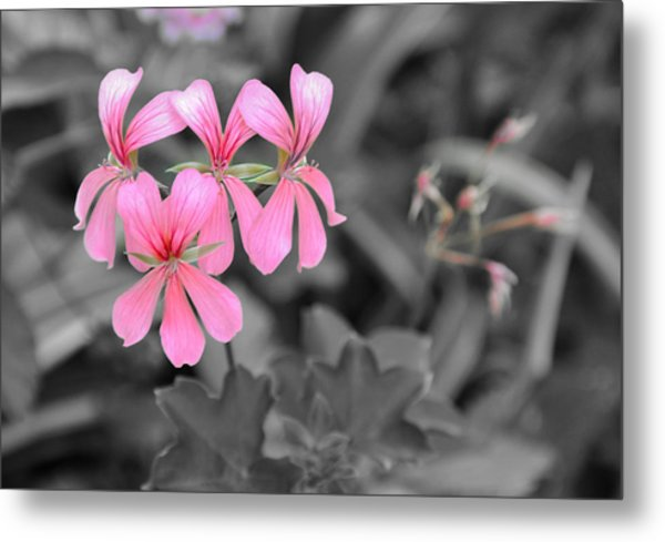 Pink Flowers On A Monochrome Background Metal Print