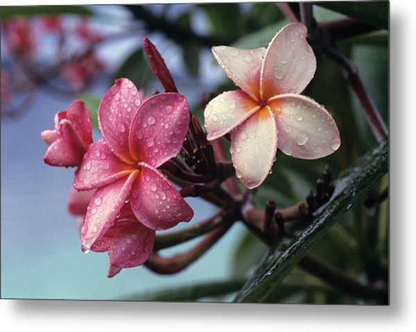 Pink Frangipani Flower And Raindrops Metal Print