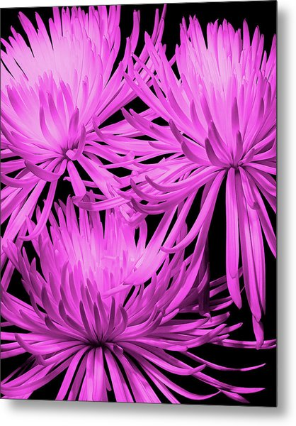 Pink Fuji Spider Mums Metal Print