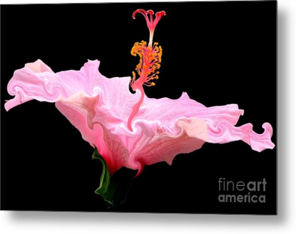 Pink Hibiscus With Curlicue Effect Metal Print
