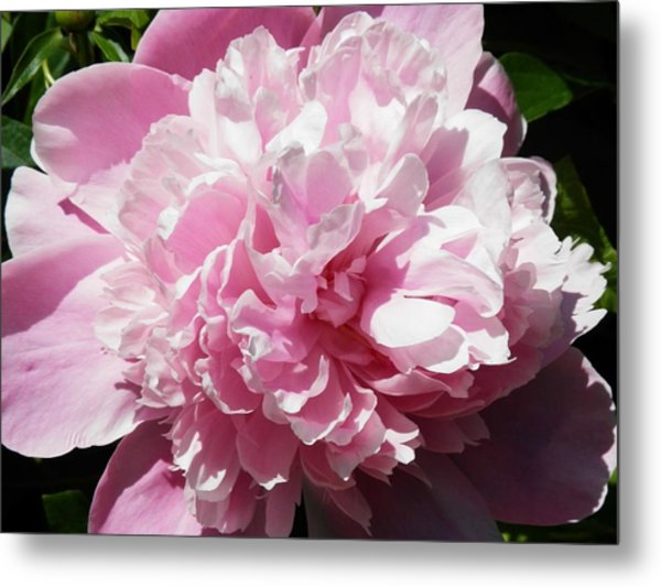 Pink In Bloom Metal Print