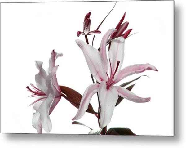 Pink Lily Metal Print by Peter Dorrell