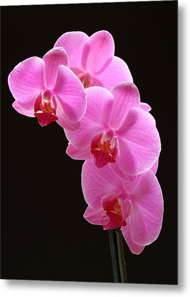 Pink Orchids Metal Print by Juergen Roth