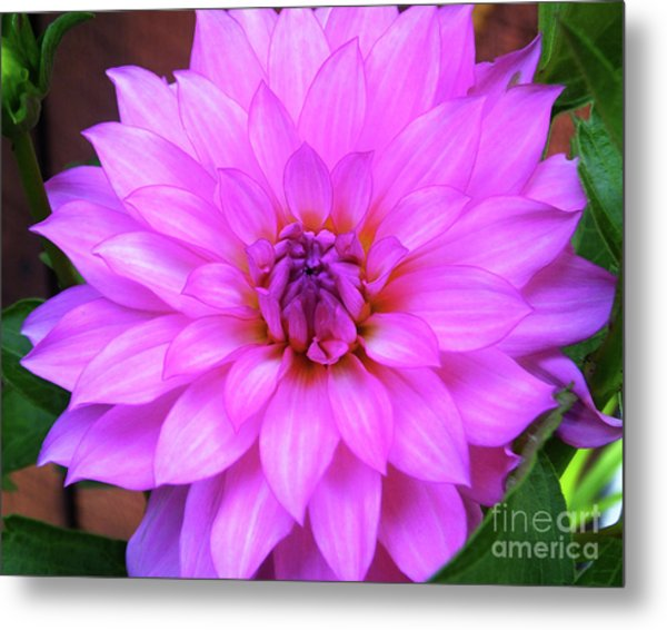 Metal Print featuring the photograph Pink Purple Dahlia Flower by Kristen Fox