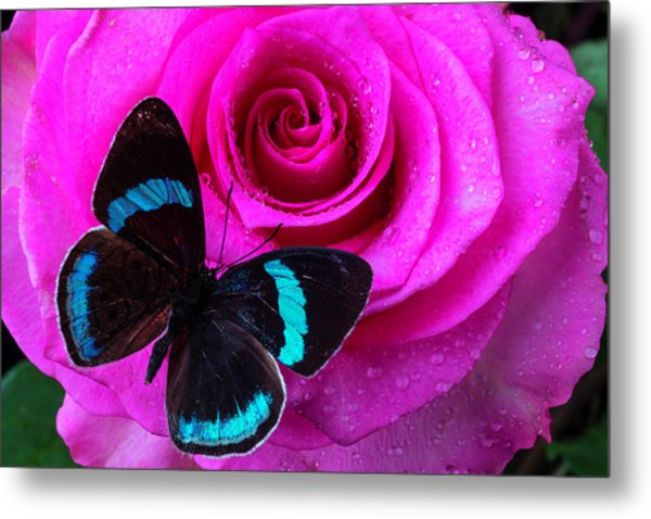 Pink Rose And Black Blue Butterfly Metal Print