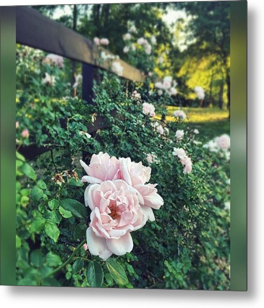 Pink Roses.  #enlight #instaprint Metal Print