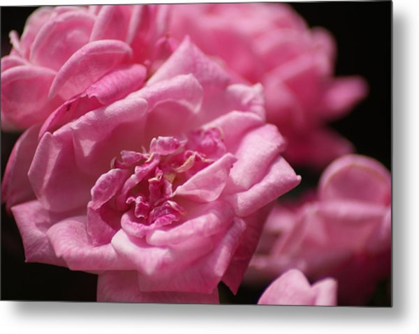 Pink Roses Metal Print by Heather Green