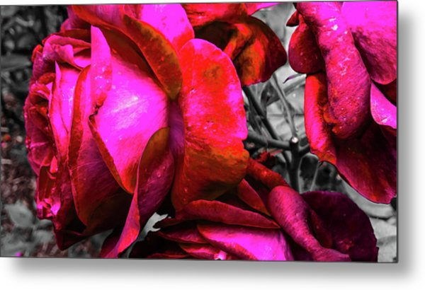 Metal Print featuring the photograph Pink Roses by Pacific Northwest Imagery