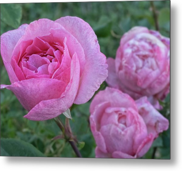Metal Print featuring the photograph Pink Roses by Philip Rodgers