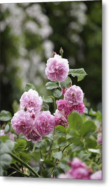 Pink Roses With Foliage Background Metal Print