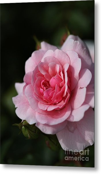Pink Shades Of Rose Metal Print