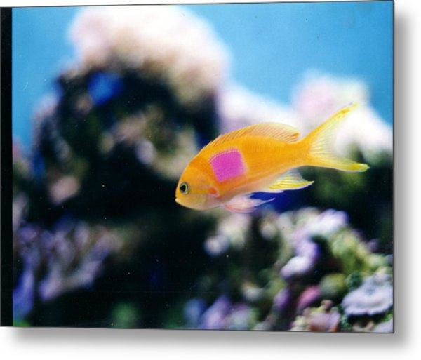 Pink Square Anthias Part II Metal Print by Steve  Heit