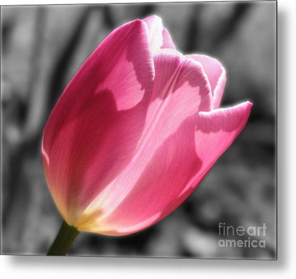 Pink Tulip On Black And White Metal Print