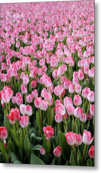 Pink Tulips- Photograph Metal Print