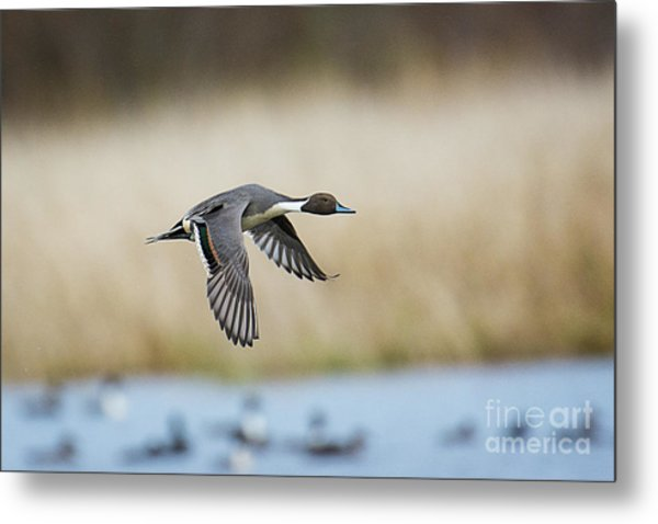 Pintail Duck Metal Print