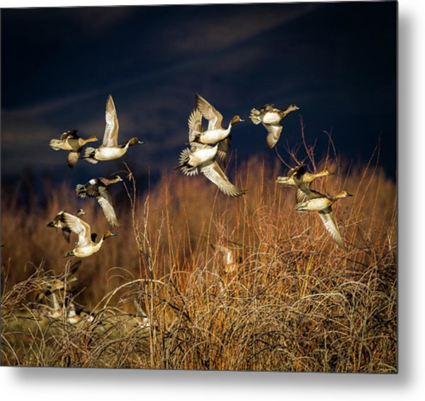 Pintails And Wigeons Metal Print