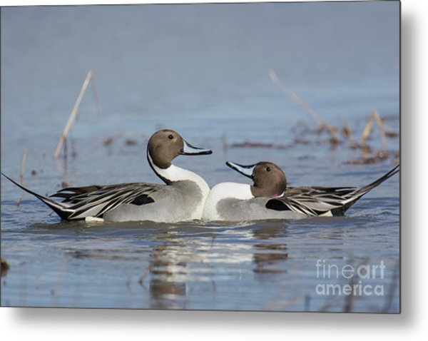 Pintails Metal Print