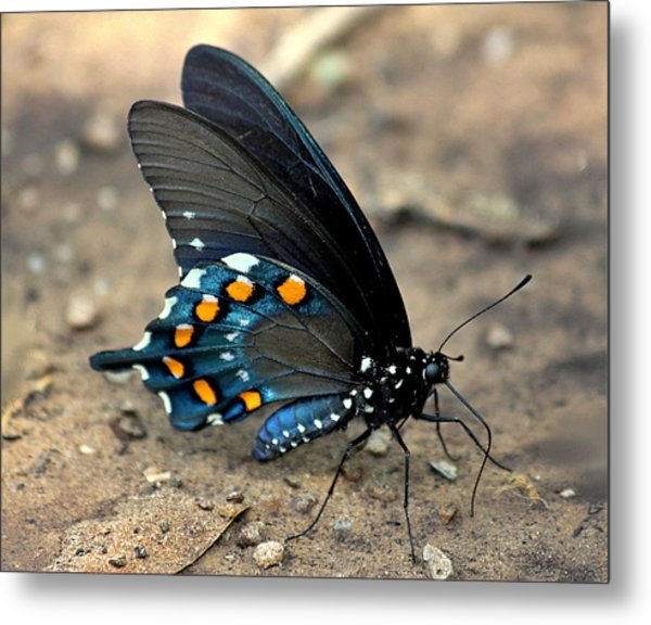 Pipevine Swallowtail Close-up Metal Print