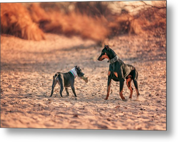 Pitbull And Doberman Metal Print
