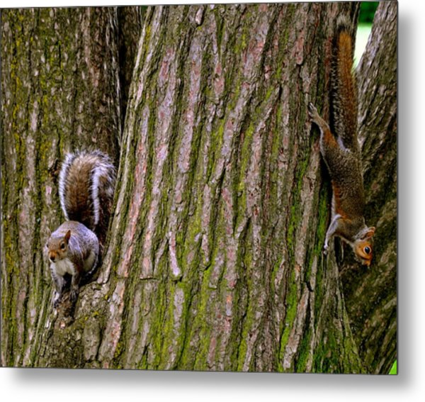 Playful Squirrels  Metal Print