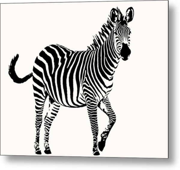Playful Zebra Full Figure Metal Print