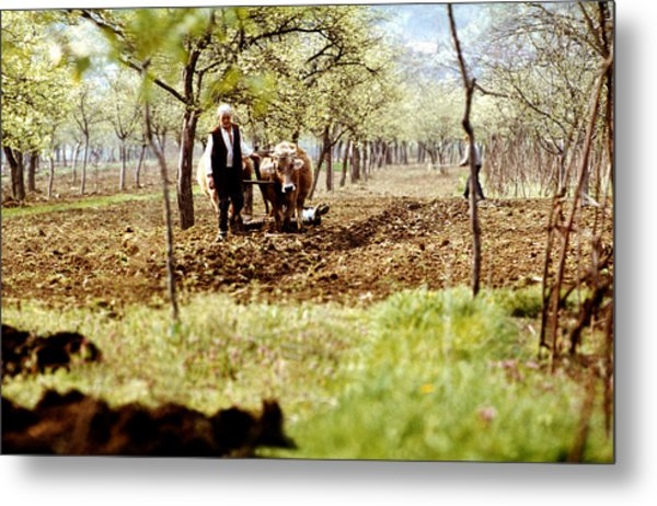 Ploughing In The Orchard Metal Print