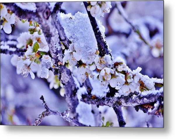 Plum Blossoms In Snow Metal Print