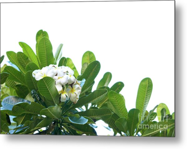 Metal Print featuring the photograph Plumeria by Cindy Garber Iverson