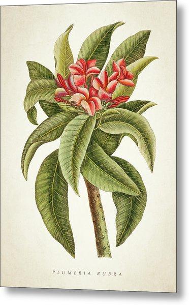 Plumeria Rubra Botanical Print Metal Print