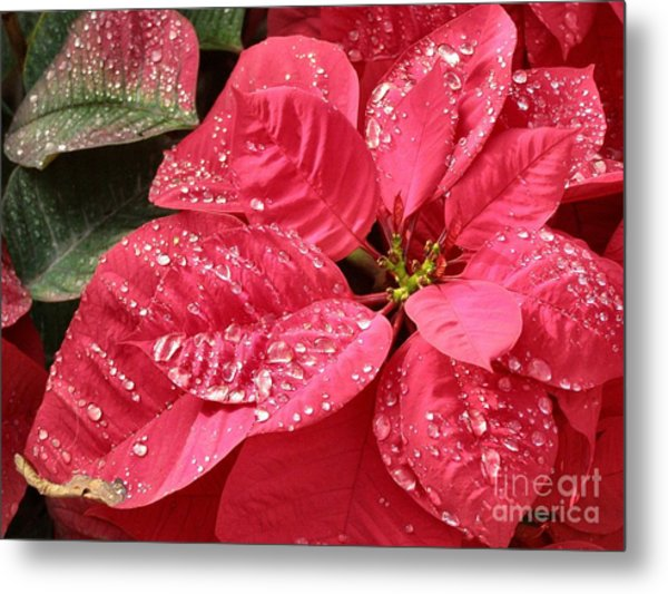 Poinsettia Christmas Dew Metal Print by Kathy Daxon