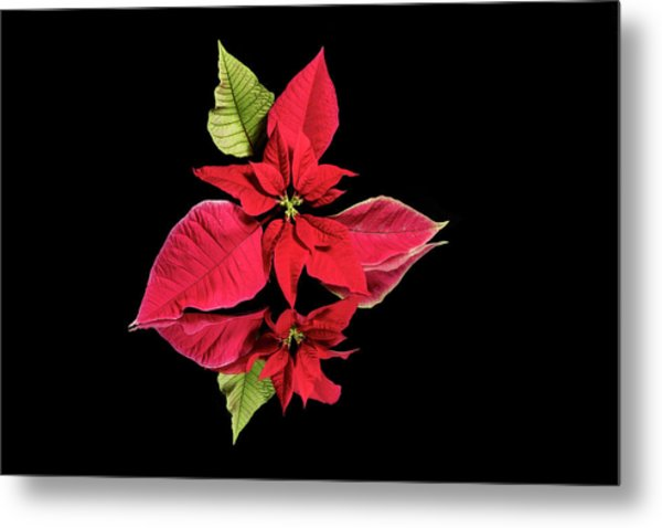 Poinsettia Reflection  Metal Print