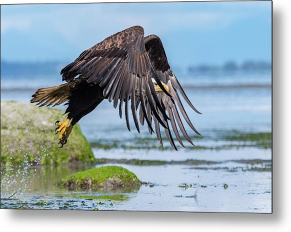 Point Roberts Eagle 2 Metal Print