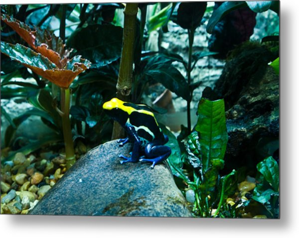 Poison Dart Frog Poised For Leap Metal Print