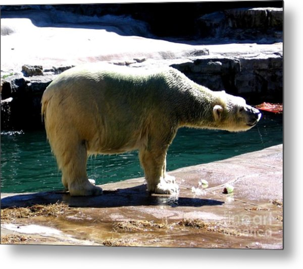Metal Print featuring the photograph Polar Bear 3 by Rose Santuci-Sofranko