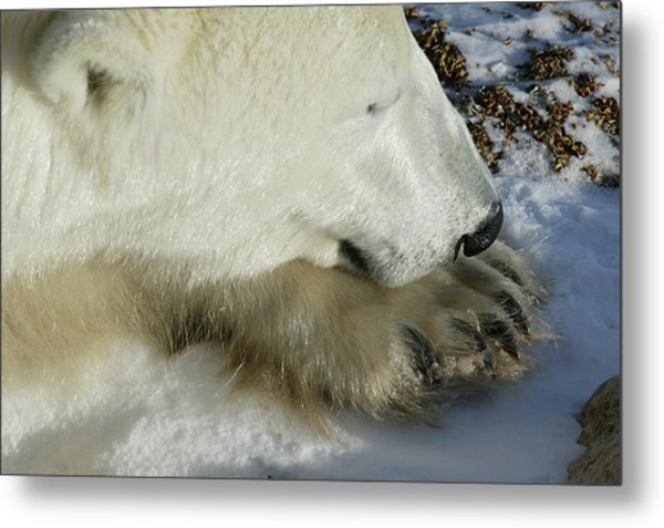 Polar Bear Close Up Metal Print