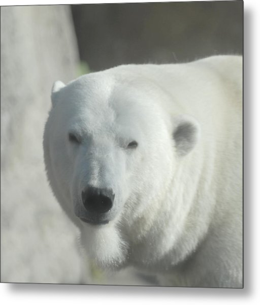 Polar Bear Metal Print by Curtis Gibson