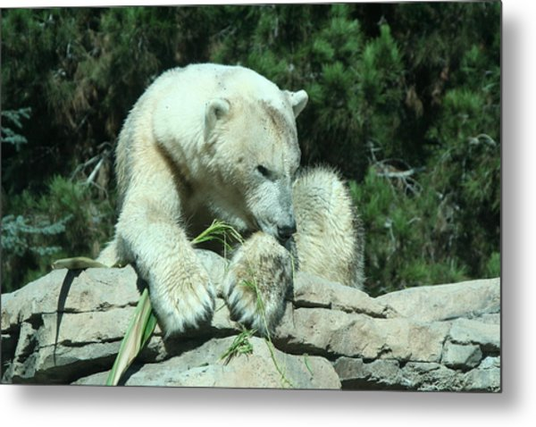 Polar Bear Metal Print by Randy Morehouse