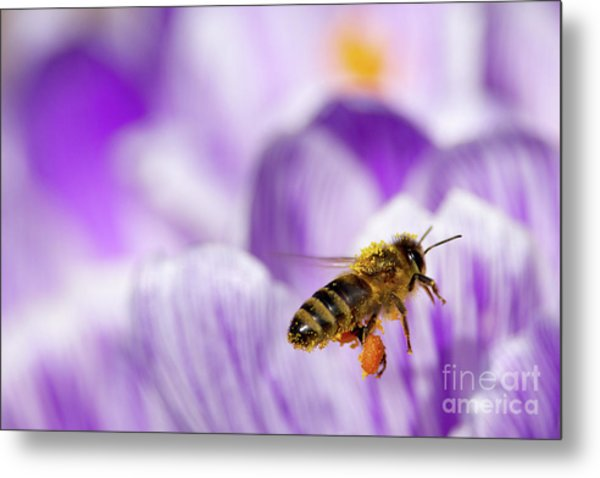 Pollen Collector Metal Print by Sharon Talson