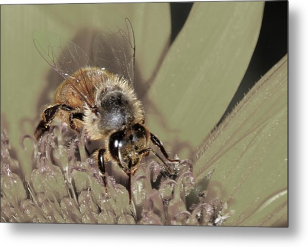Pollinating Bee Metal Print