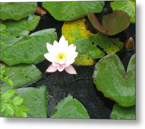 Pond Star Metal Print by Frankie Graham