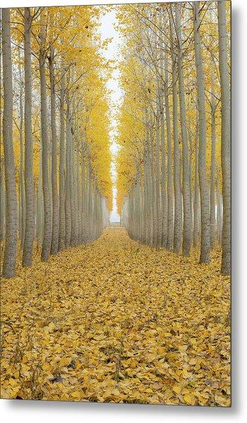 Poplar Tree Farm One Foggy Morning In Fall Season Metal Print