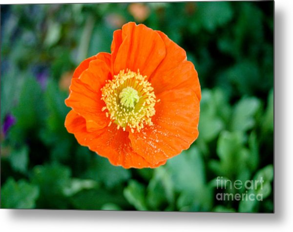 Poppie Metal Print by Maureen Norcross
