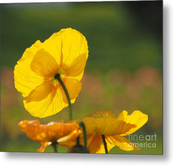 Poppies Seeking The Light Metal Print