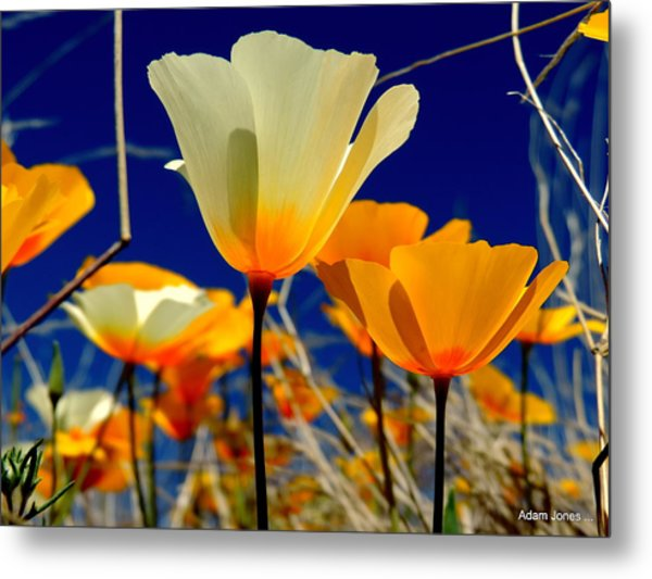 Poppy Metal Print by Adam Jones