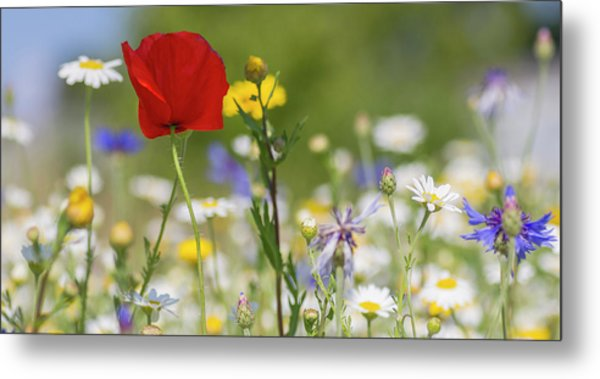 Poppy In Meadow  Metal Print