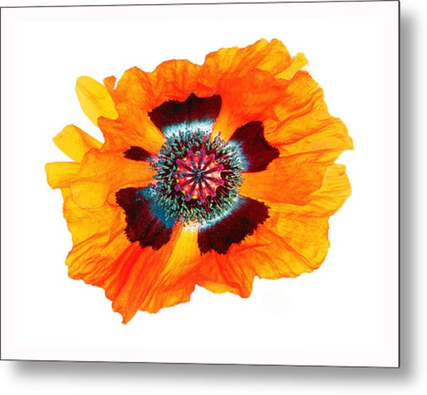 Poppy Pleasing Metal Print