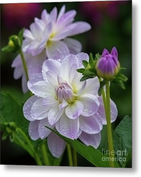 Porcelain Dahlia With Dewdrops Metal Print