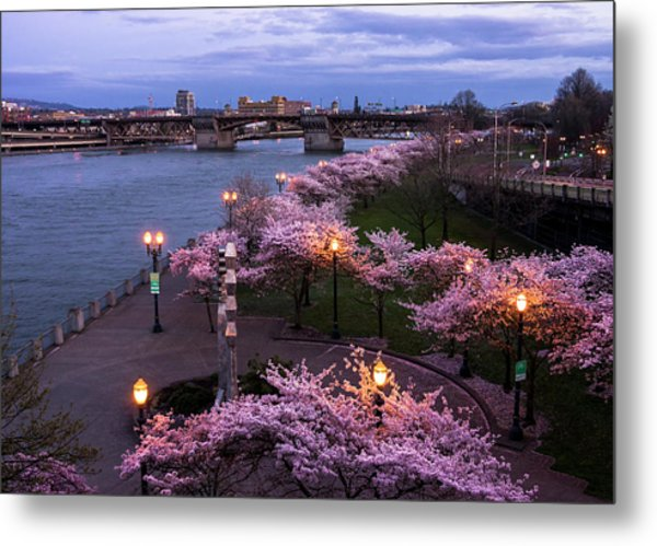 Portland Cherry Blossoms Metal Print